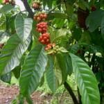 coffea-arabica-cafeto